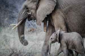 elephants calf baby elephant elephant tusks